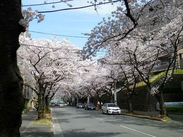 たまプラーザの桜、東小学校に方面