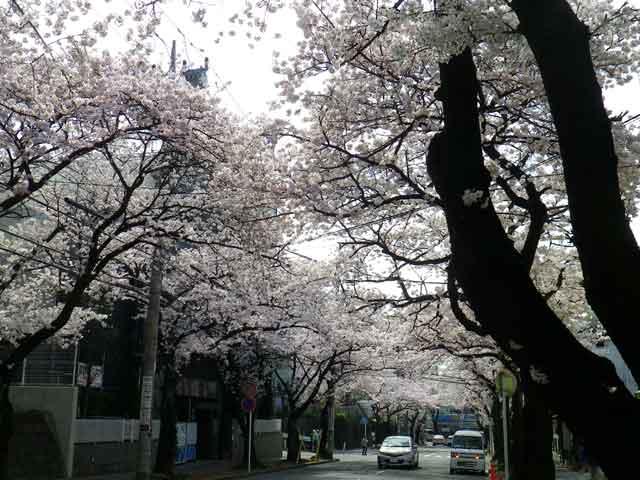 たまプラーザの桜、駅に向かって
