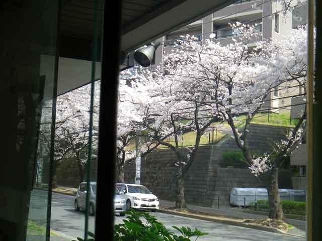 美容院店内からたまプラーザの桜
