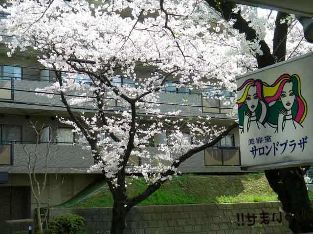 たまプラーザの桜を店内から