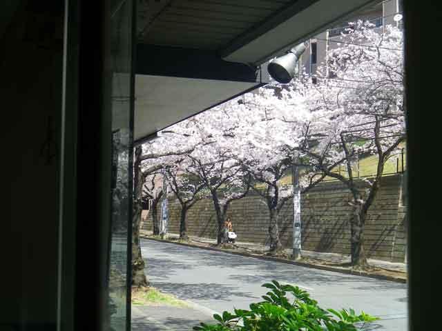 たまプラーザの桜を店の中から