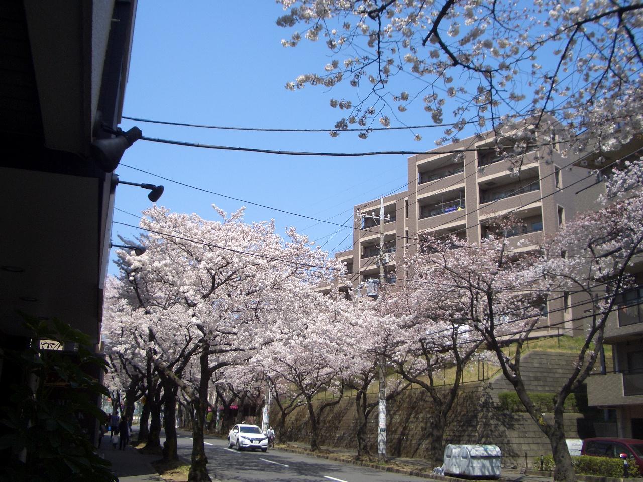 店前から左の桜