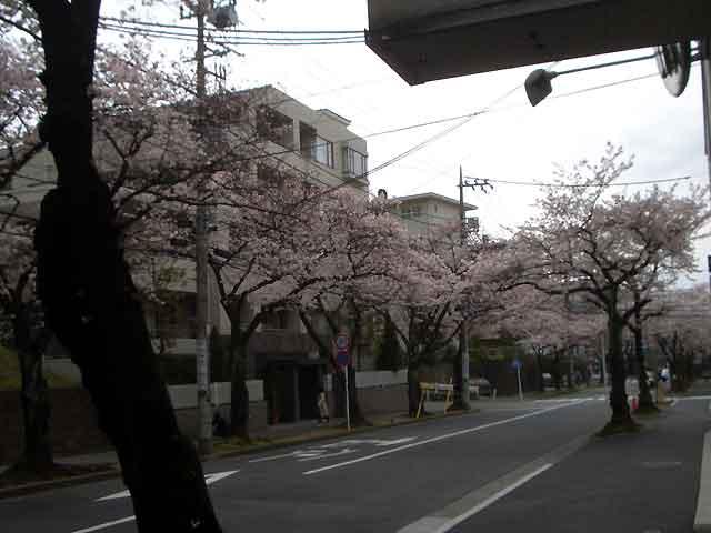2016年の桜が満開