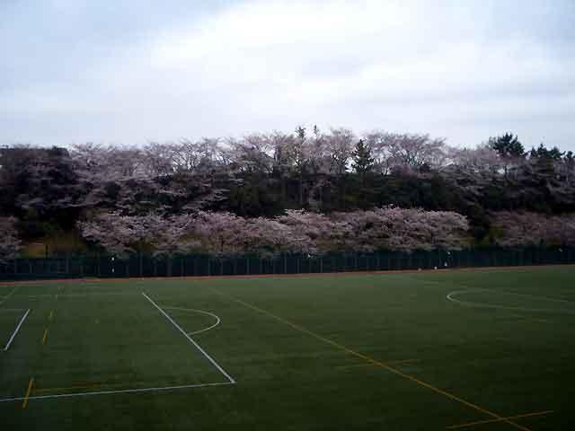 2016年国学院前のグランドの桜が満開